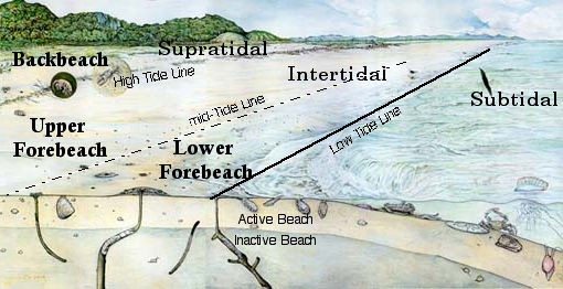 Beach morphology of barrier islands in Georgia.