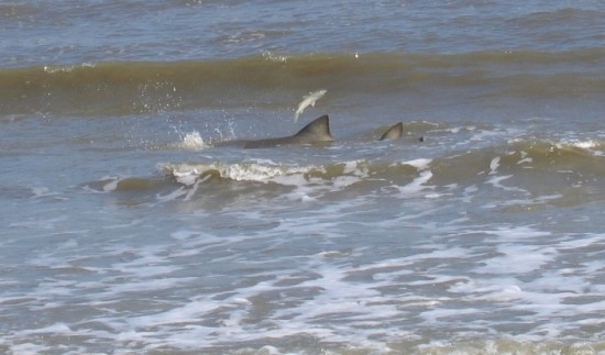 A small shark foraging in the surf as a fish makes its escape. The subtidal zone is home to many invertebrates and vertebrates.