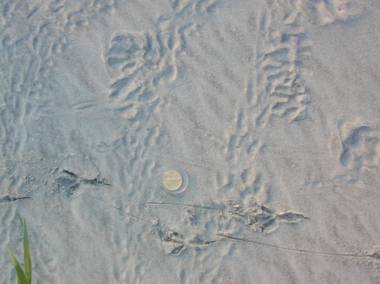 Bird tracks crossing hatchling crawlways on backbeach indicates the visitation by large birds.
