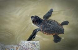 Baby-Loggerhead-Sea-Turtle