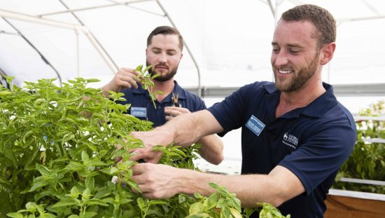 Two men in GSU shirts harvest basil