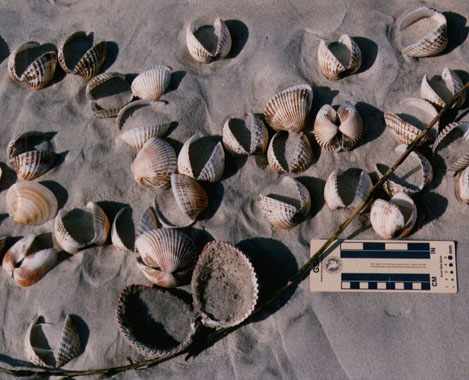 Blood Arcs and Giant Atlantic Cockle washed ashore onto the upper foreshore forming a small shell bed.
