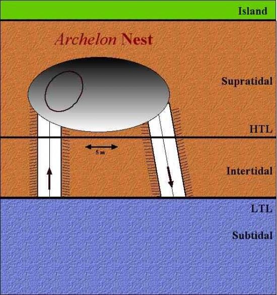archelon_nest_drawing