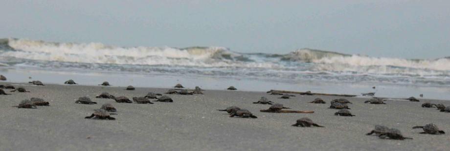 Sea Turtle Program at St. Catherines Island