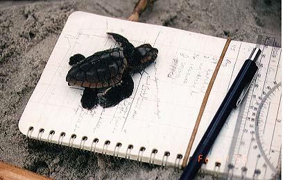 Hatchling on Notebook