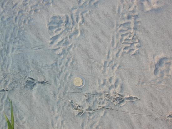 Bird tracks crossing hatchling crawlways on backbeach indicates the visitation by large birds.