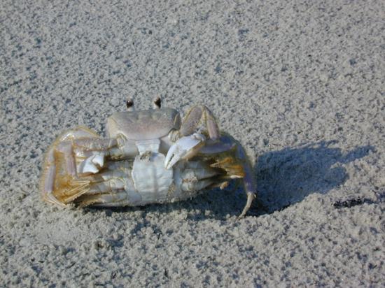 Paired Ghost Crabs copulating on the rain-spackled backbeach, St. Catherines Island.