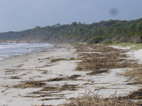 Upper foreshore and back-beach, North Beach with washed in Spartina wrack mat.