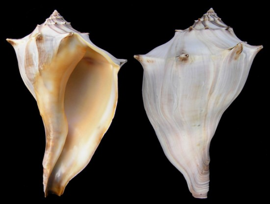 Knobbed Whelks are abundant and characteristic shells of the Atlantic (Jacksonville Shell Club).